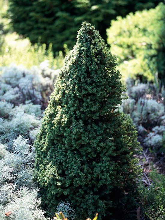 62 best images about shrubs evergreen on pinterest for Small sized evergreen trees