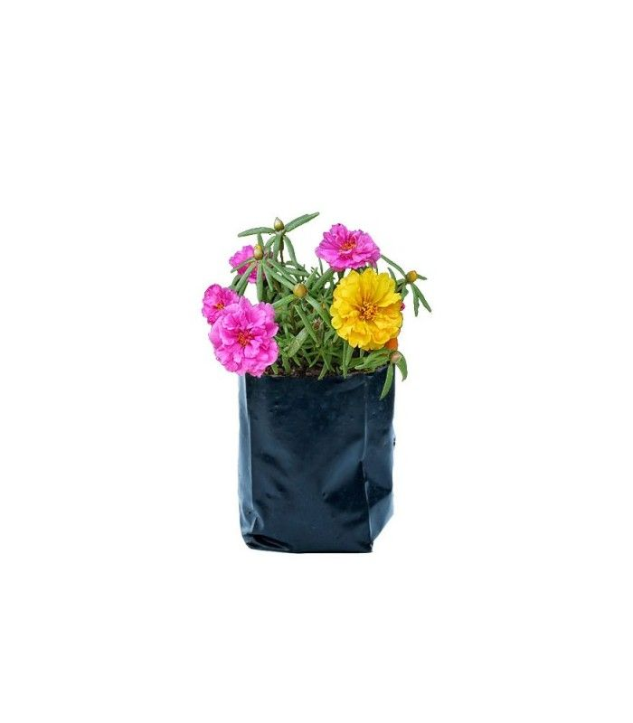 Portulaca grandiflora Jardeen.com.br