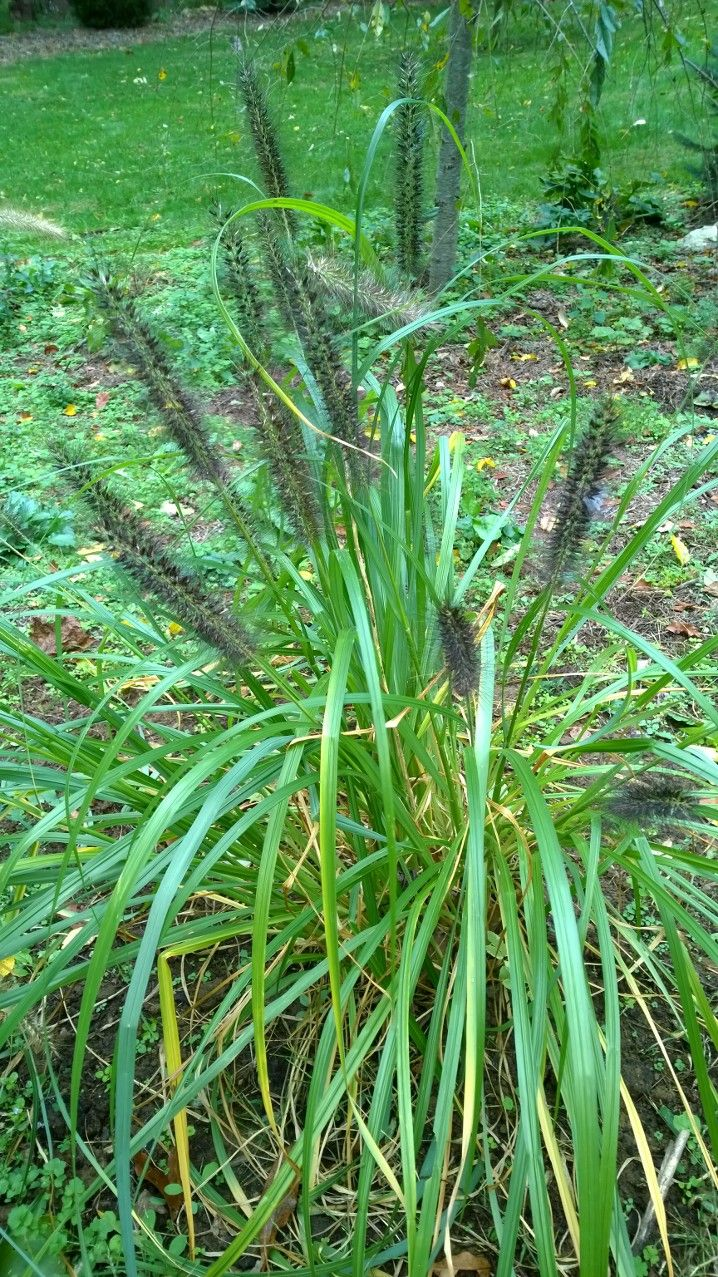 17 best images about webb springs on pinterest gardens for Fountain grass for shade