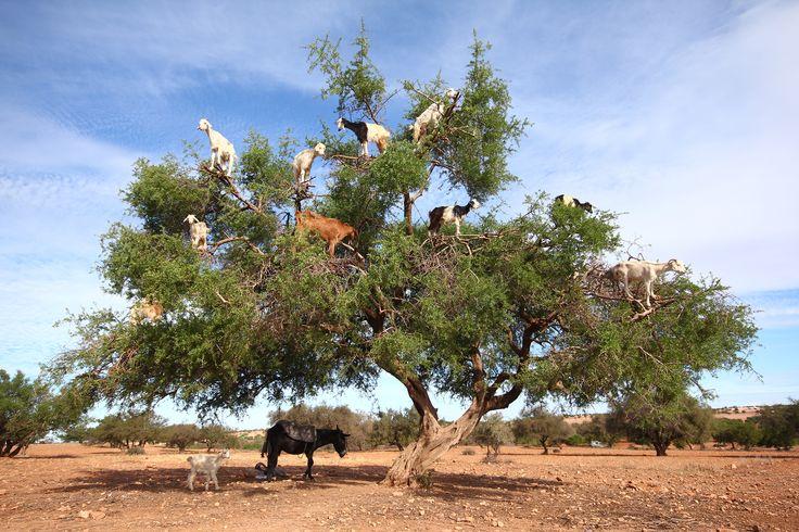The Argan Tree, Morocco