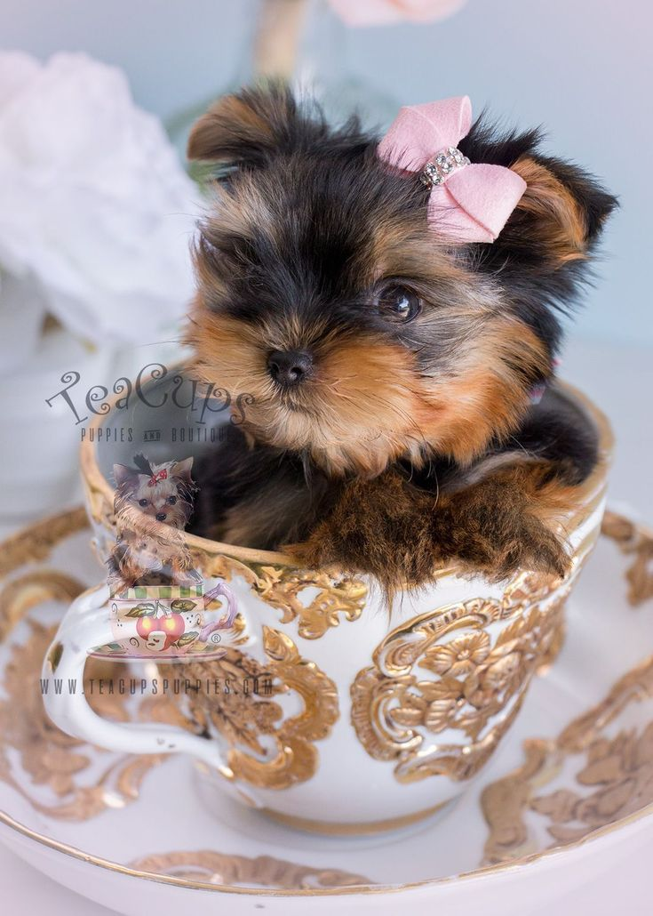 Baby Doll Yorkie Puppy For Sale by TeaCupsPuppies.com #yorkshireterrier