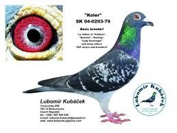 """Képtalálat a következőre: """"van hove-uytterhoeven pigeons"""""""