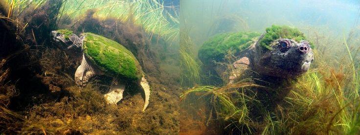 Une tortue couverte d'algues