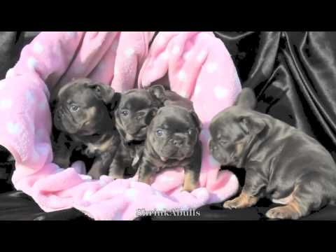 Blue french bulldog puppies for sale, blue tri frenchie puppies