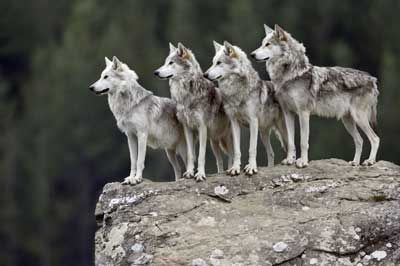 Wolves!  Favorite animal!  And we just got the Grey Wolves off the endangered list, and then some crackpot decided that people are allowed to hunt them now.  Really?  Think about that.  We just got them back.  Idiots..