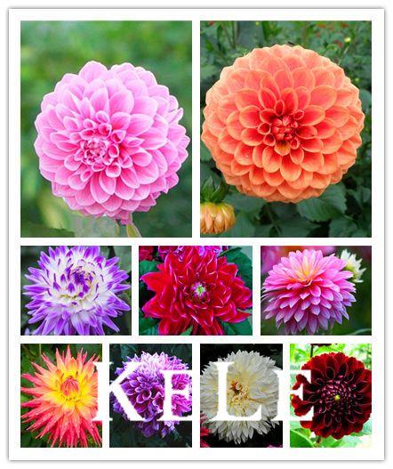 Dahlia - Pompon~beautiful gardens, gorgeous flower , 24 color mixed seeds