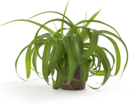 "chlorophytum comosum ""bonnie green"" - zelenec"
