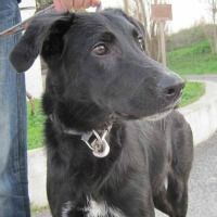 Crash young male beauceron cross