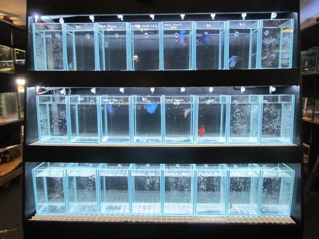 53 best betta aquariums images on pinterest fish tanks for Fighting fish tank