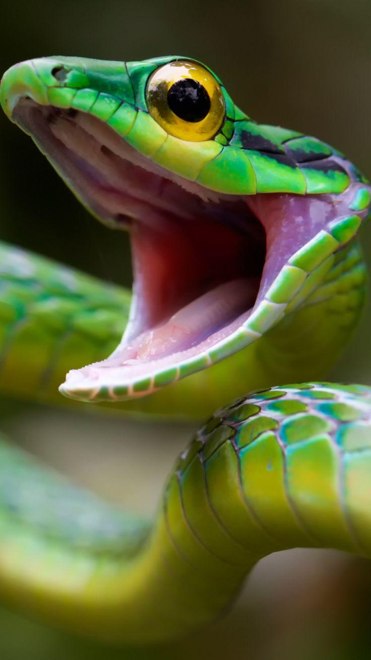 la serpiente verde es muy popular en Costa Rica. No me gusta serpiente.