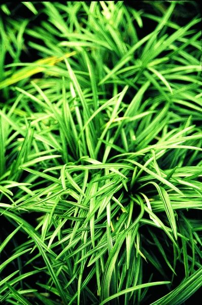 M s de 25 ideas incre bles sobre ophiopogon japonicus en for Hierbas ornamentales