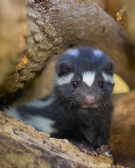 ~~Misunderstood ~  young (pup) Eastern spotted skunk (Spilogale putoius) by Mundy Hackett~~