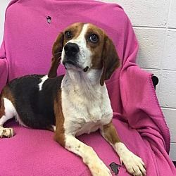 4 2 15 1 Young Male Beagle Stray He Is So Skinny That He Only