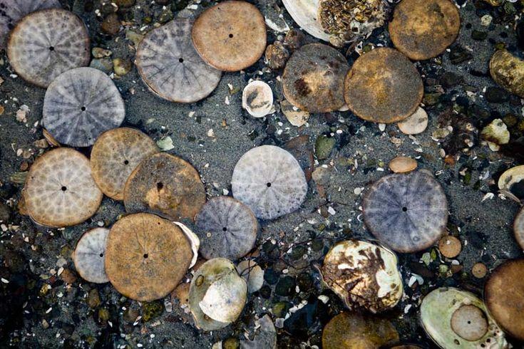 Sand dollars and shells, Magnolia Beach, Vashon, WA