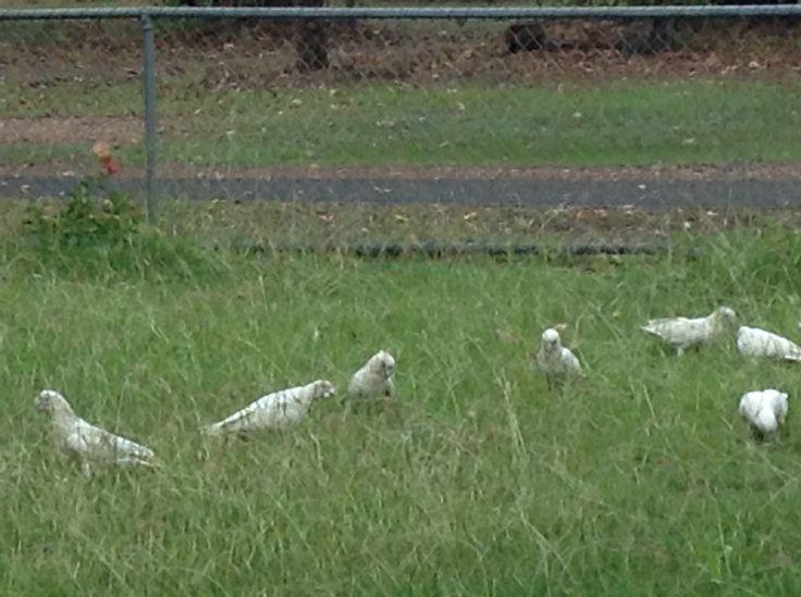 Corella's the latest in lawnmowers #kakaduforme