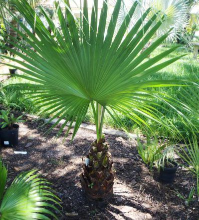 The Chinese Fan Palm Tree Leaf from the Dougherty Garden