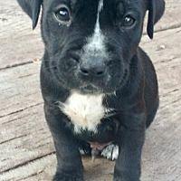 Fort Wayne, Indiana - Boxer. Meet Floyd, a for adoption. https://www.adoptapet.com/pet/19543097-fort-wayne-indiana-boxer
