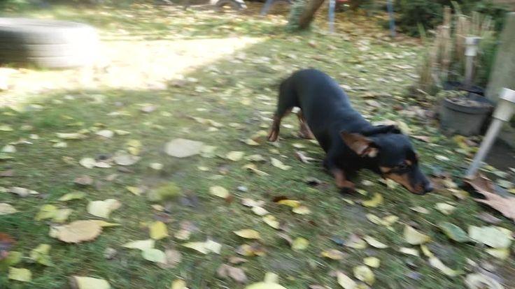 Wagging dachshund playing in backyard