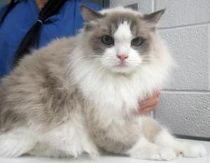 Bandit is an adoptable Ragdoll Cat in Adrian, MI. Adoption Price: $25.00 All of our adoptable pets are spayed or neutered before they leave our shelter. If this pet is not currently listed as being sp...