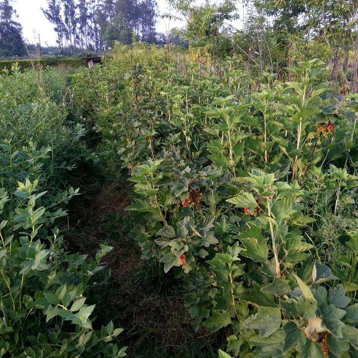 Groselleros en plantamus
