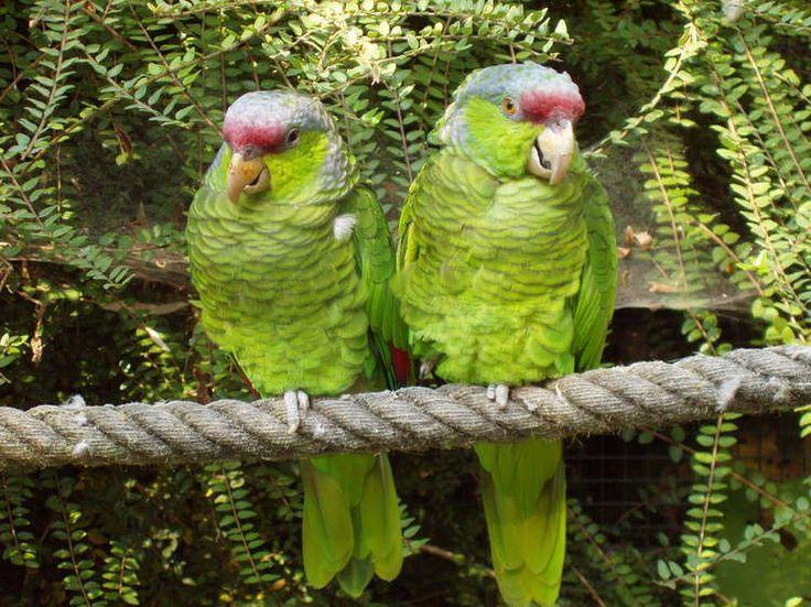 perroquet | Perroquets Amazones par Corinne DE MATOS sur L'Internaute