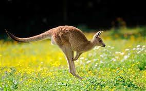 Kangoeroetikkertje