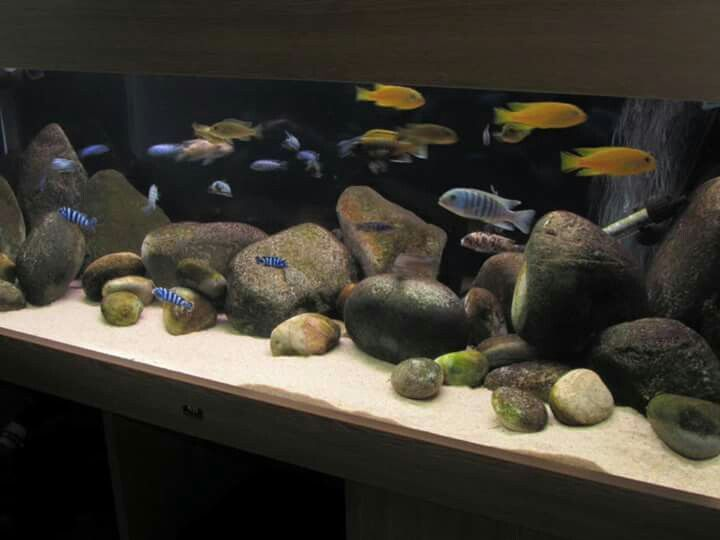 54 best images about malawi on pinterest malawi cichlids for African cichlid rock decoration