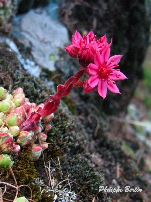 Fleurs rouges - Randonnée, Raquette & Alpinisme en Vanoise