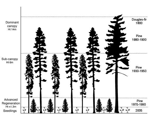 Douglas Fir Forest Vector