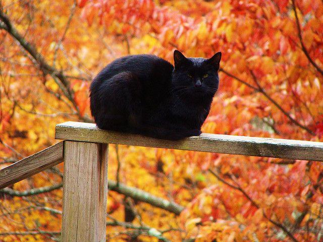 Black Cat..   Looks like chopper Lou...our black cat........