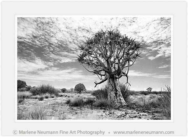 ANCIENT TREE...I remember this day..the temp was around 45 degrees...it was the day my camera overheated...and I had to find some shade..the only sound I heard was the crunching of my boots on the hard dry desert sand..this image was taken when I visited a koker boom forest in Namibia..these trees are around 250 years old...they survive the desert heat, scorching sun...freezing winters and yet they still stand strong..plus they flower in summer...when a tree out lives us..it puts it all in…
