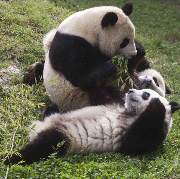 Детеныши панды, близнецы По и Де Де играют рядом с матерью Хуа Цзуй Ба в своем вольере в зоопарке Мадрида.