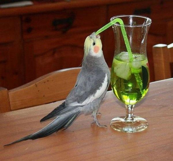 cocktail cockatiel
