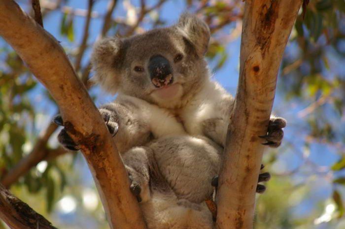 Koala på Kangaroo Island