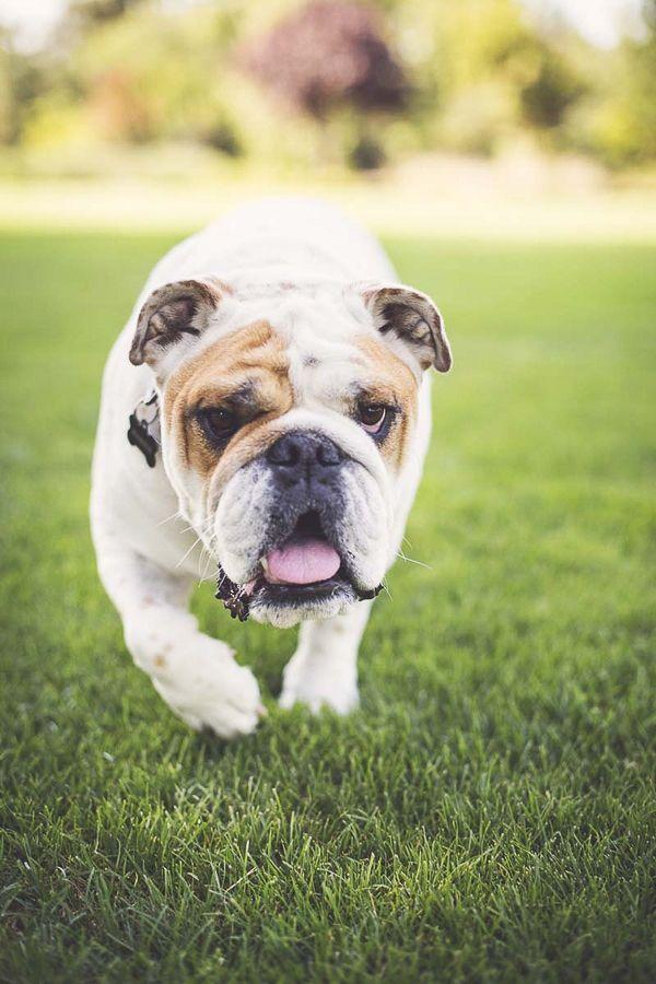 Happy Tails Maddie The English Bulldog Daily Dog Tag Bulldog Dog Photography Dog Tags