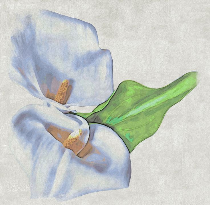 Calla Lily - Calla Lily is a lily by common name only, although like lilies its…