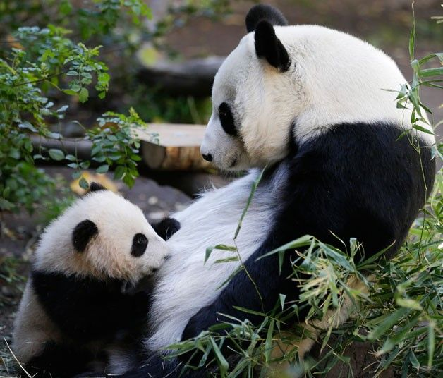 Mother panda Bai Yun feeds her five-month-old male cub Xiao Liwu at the San Diego Zoo  Picture: Gregory Bull/AP
