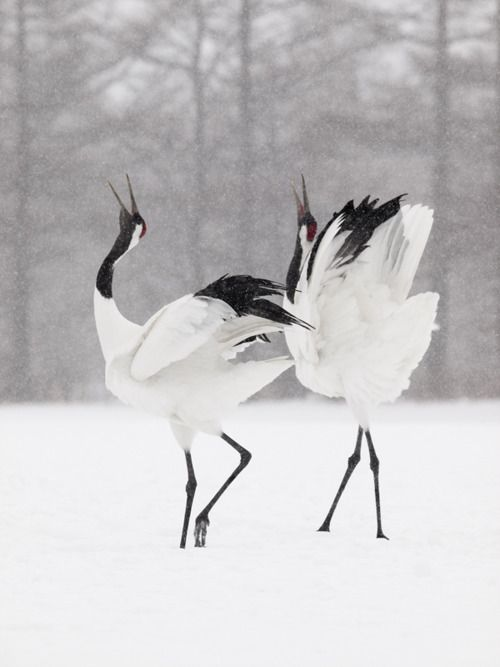 Cranes doing Tai Chi - White Crane Spreads Its Wings :) :)