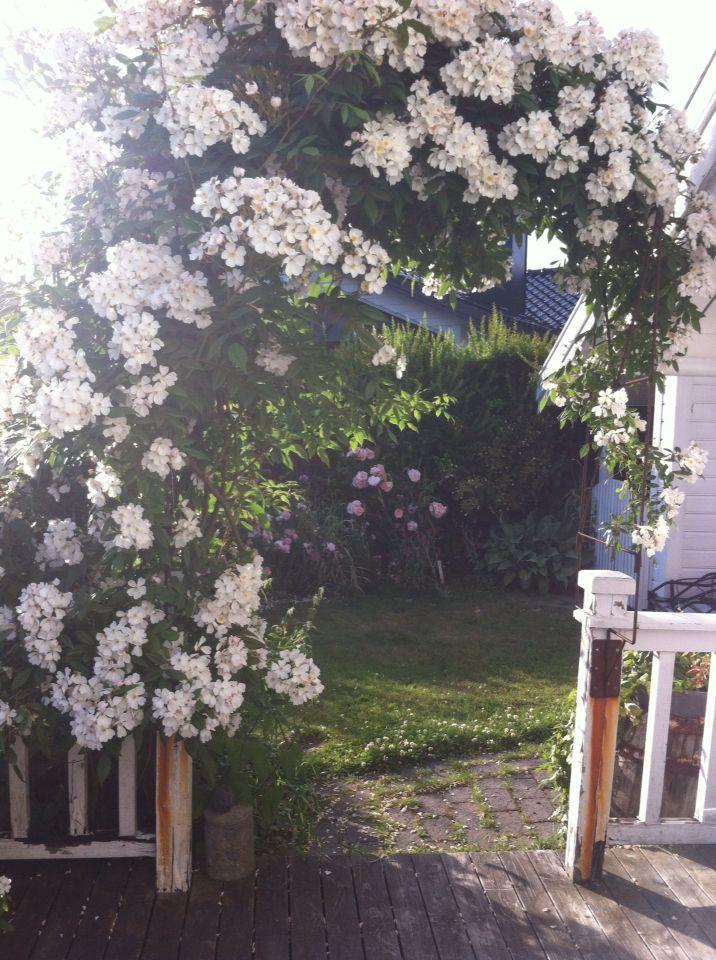 Honning rose i min hage sandefjord Norge