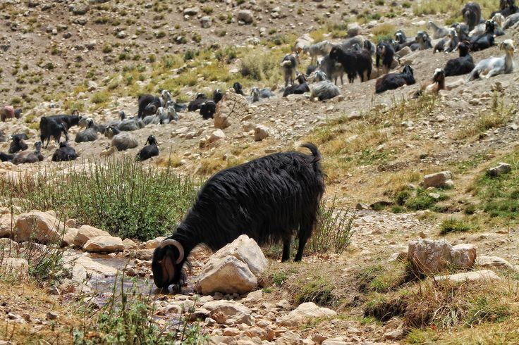 Plateau Korkuteli Antalya Türkiye... #photography, #antalya, #turkey, #urav, #goat, #nature
