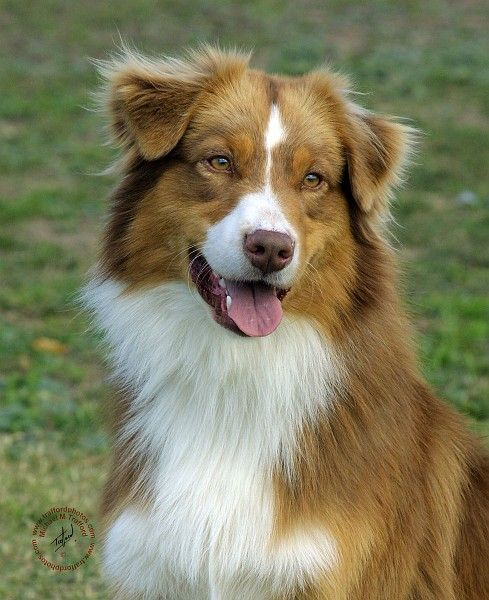 A light colored Red Tri Australian Shepherd!