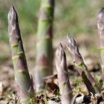 Many gardeners buy established bare root stock when growing asparagus, but can you grow asparagus from seeds? If so, how do you grow asparagus from seed and what other information on asparagus seed propagation might be helpful? Find out here.