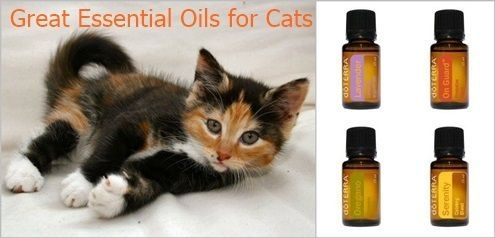 Olivia Cleans Green: Great Essential Oils for Cats Flea Repellent: In a large spray bottle, put 5 drops of Rosemary essential oil and fill the remainder of the bottle with water. Lightly spray the cat, being careful to avoid the eyes. Reapply as needed for flea prevention. Another option is to apply TerraShield oil blend to paws, around ears and other trouble areas. by lesley