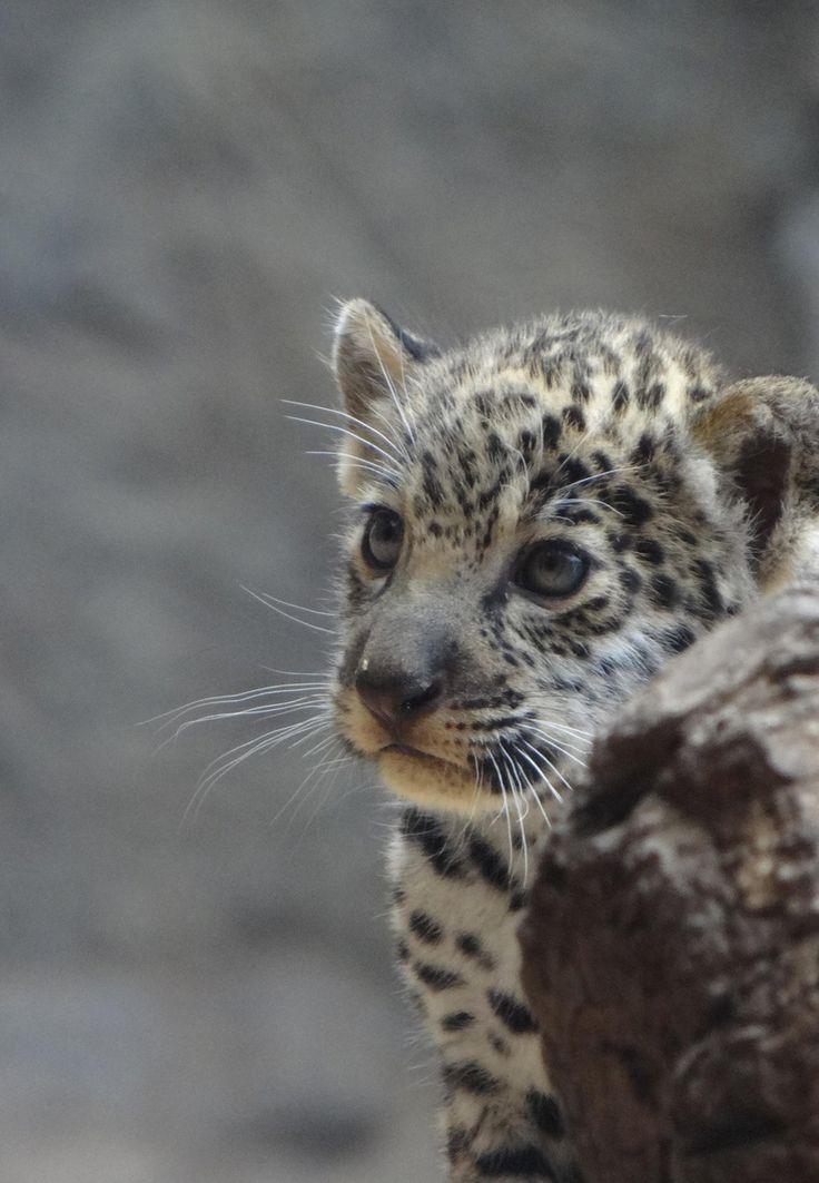 baby jaguar | My virtual pets | Pinterest