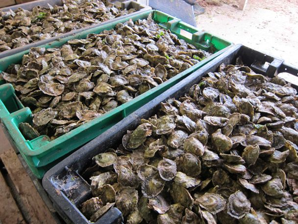 Pride of the island: Bins of briny Colville Bay oysters from Gourmet.com Anna Watson Carl's article 'Eating up Prince Edward Island': http://www.gourmet.com/food/gourmetlive/2012/022212/eating-up-prince-edward-island# #PEI #Oysters #PEIFlavours