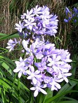 Agapanthus—Growing African Lilies Inside: Agapanthus is known for its beautiful blue flowers.
