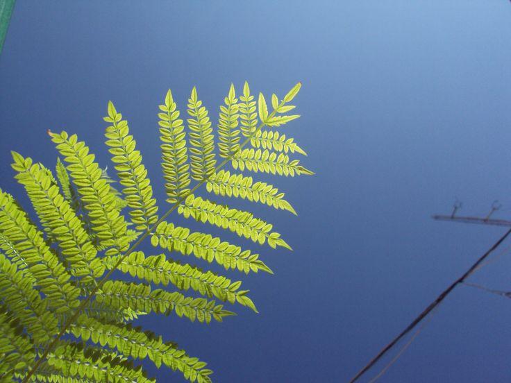 Detalle de las hojas de la Jacaranda (Álora - Málaga).