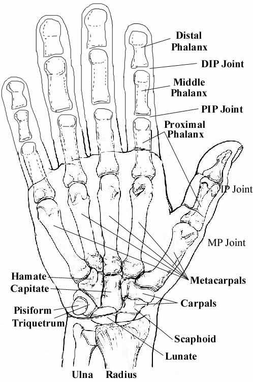 hand bone and tendon chart