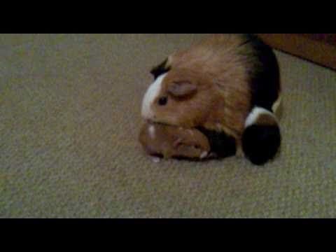 Cute 2 Day Old Baby Guinea Pigs Following Mom - Litter No:1