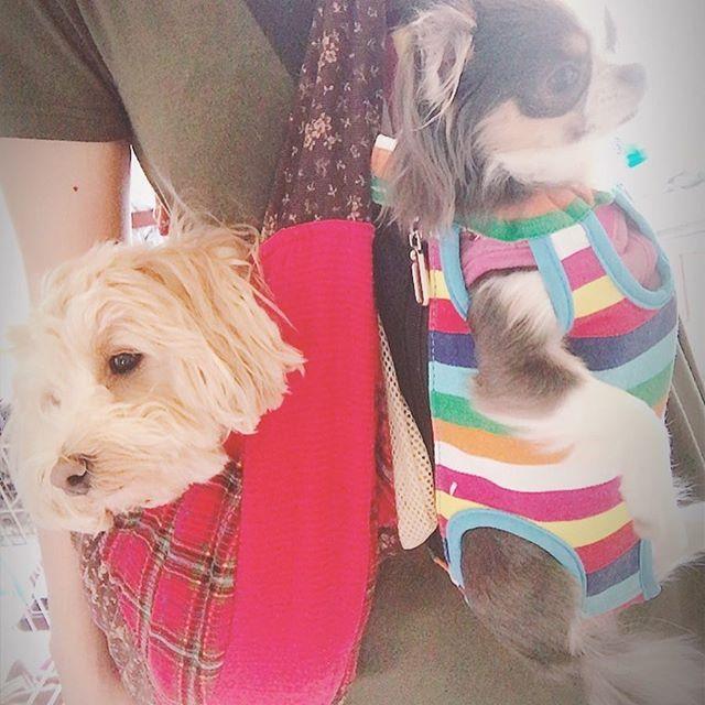この前の日曜日は早い時間帯から 一緒に祭りに行って来た🤗💕 . . じゃがいも食べたり氷を食べたりと わんこも楽しんだであろう。(笑) . . #犬 #dog #愛犬 #ペット #pet #杏 #あんず #マルプー #プーマル #プードル #マルチーズ #maltipoo #mix犬 #マルプー連合 #アプリコット #apricot #ふわもこ部 #チワワ #ロングコートチワワ #Chihuahua #雫 #しずく #ブルータンホワイト #多頭飼い #何しても可愛い #犬好きと繋がりたい #犬用抱っこ紐 #祭 #散歩